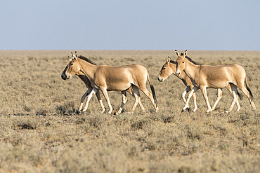 Asian wild ass (Equus hemionus) in a semi-arid steppe landscape of the Galba Gobi Desert, Ulgii Hiit, Mongolia