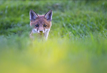 Red fox (Vulpes vulpes) cub coming out of his earth, England