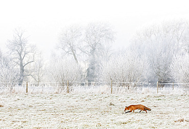 Red fox (Vulpes vulpes) standing in a frosty meadow, England