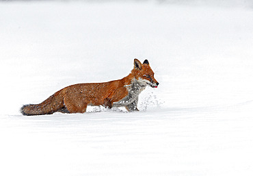 Red fox (Vulpes vulpes) walking in the snow, England