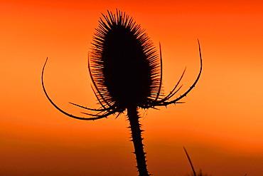 Teasel (Dipsacus sp) at sunset, Doubs, France