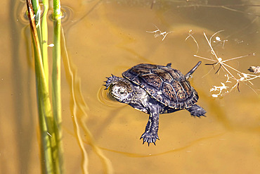 European Pond Turtle (Emys orbicularis) on the surface of a small pond in summer, Domaine de Sainte Croix, Lorraine, France