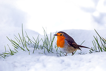European robin (Erithacus rubecula) on snow in winter, Country garden, Lorraine, France