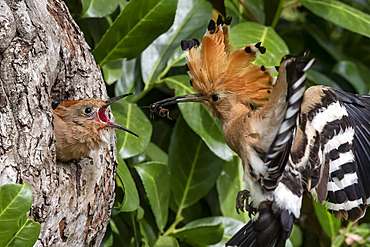Hoopoe (Upupa epops) flying near its lodge with a spider in its beak to feed a young in spring, Country garden around Toul, Meurthe-et-Moselle, France