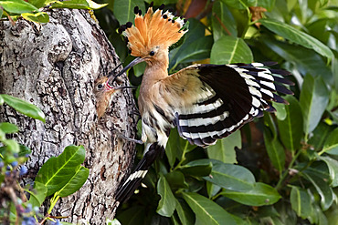 Hoopoe (Upupa epops) in flight near its lodge with a larva in the beak to feed a young in spring, Country garden near Toul, Meurthe-et-Moselle, France