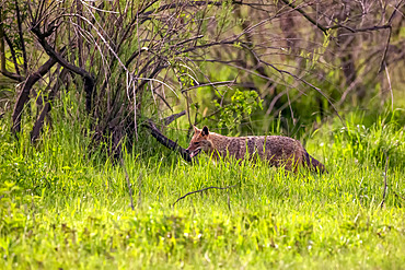 Golden Jackal (Canis aureus) walking in a meadow in spring, Danube Delta, Romania