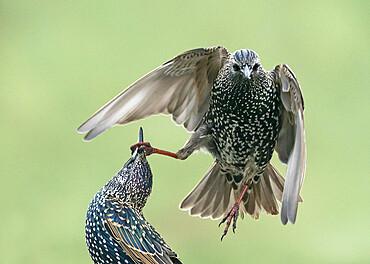 Starling (Sturnus vulagaris) fighting, England