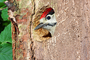 Great Spotted Woodpecker (Dendrocopos major) getting her head out of her dressing room ready to take off, June, France