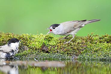 Blackcap (Sylvia atricapilla) adult male nuzzling a Marsh Tit (Poecile palustris) at the pond, June, France