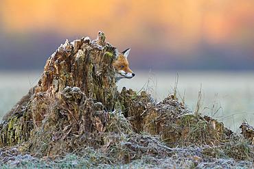 Red fox (Vulpes vulpes) in behind a tree trunk, Hesse, Germany, Europe