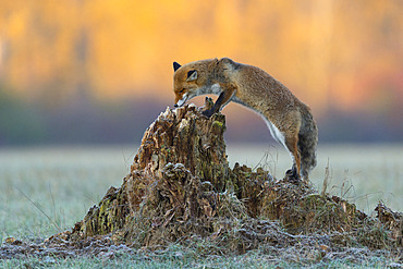 Red fox (Vulpes vulpes) sniffs on tree trunk, Hesse, Germany, Europe