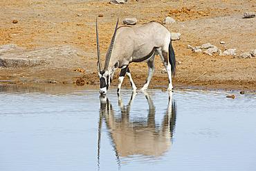 Gemsbok (Oryx gazella) drinking at the water hole, Etosha, Namibia