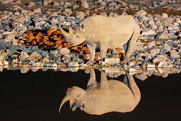 Black Rhino (Diceros bicornis) reflection, Etosha, Namibia