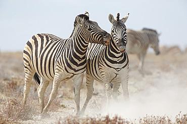 Burchell's Zebra (Equus quagga burchellii) fighting, Etosha, Namibia