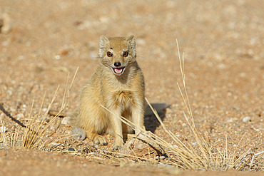 Yellow mongoose (Cynictis penicillata), Solitaire, Namibia, August 2013