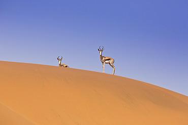 Kalahari Springbok (Antidorcas marsupialis hofmeyri), Sossusvlei, Namibia