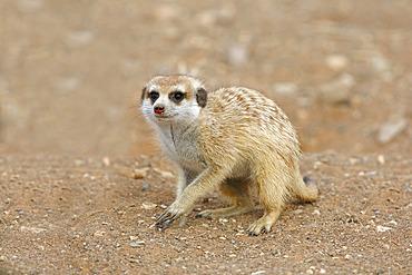 Meerkat (Suricata suricatta), Gariganus farm, Namibia
