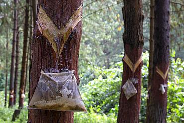 Harvesting pine resin from bleeding trees, Uganda