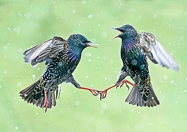 Starling (Sturnus vulagaris) fighting in falling snow, England