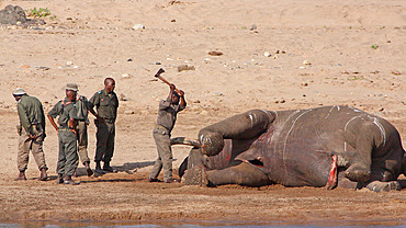 Kruger National Park ranger using an axe to extract a tusk from the body of a naturally dead elephant (Loxodonta africana) to combat poaching, Kruger NP, South Africa