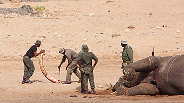 Rangers of the Kruger National Park just extracted a tusk to the root for two hours from the body of a naturally dead elephant (Loxodonta africana) in order to fight against poaching, Kruger NP, South Africa