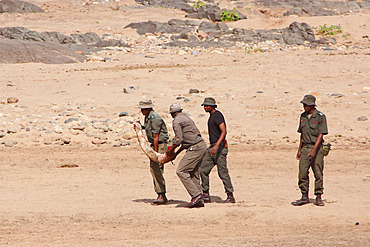 Kruger National Park rangers carrying a tusk that has just been extracted to the root of the body of a naturally dead elephant (Loxodonta africana) in order to fight against poaching, Kruger NP, South Africa