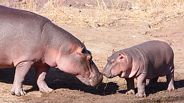 Female Hippopotamus (Hippopotamus amphibius) touching the snout of her newborn, Kruger NP, South Africa