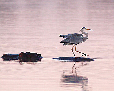 Grey heron (Ardea cinerea) at dawn posted on the back of a hippopotamus (Hippopotamus amphibius) at a waterhole. Kruger NP South Africa