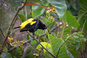 Yellow-rumped Cacique (Cacicus cela) in a tree, Reserve naturelle des Marais de Kaw, French Guiana