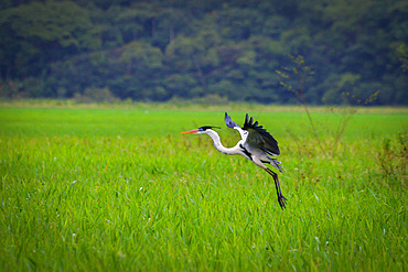 Cocoi Heron (Ardea cocoi) in flight, Kaw Marshes Nature Reserve, French Guiana