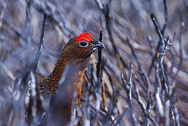 Red Grouse (Lagopus lagopus scoticus). A male Red Grouse peeps up from the burnt heather in the Peak District, UK.