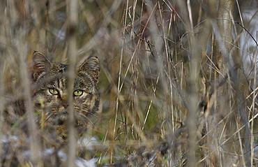 Wildcat (Felis silvestris) male on the look out, Vosges du Nord Regional Natural Park, France