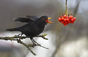 Black bird (Turdus merula) eating European mountain ash (Sorbus aucuparia) berries on a branche, Parc naturel regional des Vosges du Nord, France