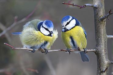 Blue tits (Parus caeruleus) couple on a branch, Vosges du Nord Regional Nature Park, France
