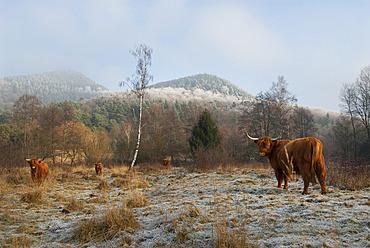 Cows (Highland-cattle) in winter, Parc naturel regional des Vosges du Nord, France