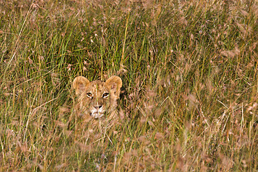 A lion cub (Panthera leo) waiting for its mother and hiding in tall grass, Masai Mara, Kenya.