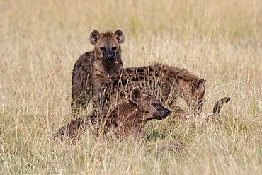 Spotted hyena (Crocuta crocuta), Masai Mara National Reserve, Kenya.