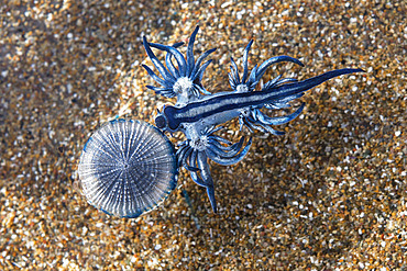 BLUE DRAGON (Glaucus atlanticus). Small slug that measures only about 2 cm and is generally associated with the Portuguese man of war (Physalia physalis), although it also usually appears in intertidal pools. Marine invertebrates of the Canary Islands, Tenerife.