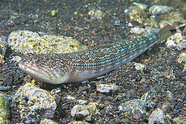 Atlantic Lizardfish (Synodus saurus).Fish of the Canary Islands, Tenerife.