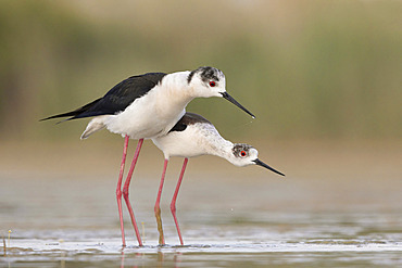 Mating Black-winged stilt, Rome, Italy, May 2020