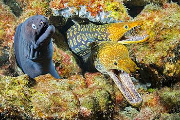 Canary fish. BLACK MORAY (Muraena augusti) and TIGER MORAY (Enchelycore anatina), Tenerife, Canary Islands.
