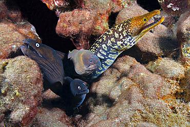 Canary fish. BLACK MORAY (Muraena augusti), Brun Moray; (Gymnothorax unicolor) and TIGER MORAY (Enchelycore anatina), Tenerife, Canary Islands.