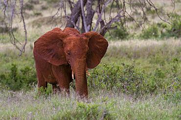 A young African elephant (Loxodonta africana), feeding, Tsavo, Kenya.