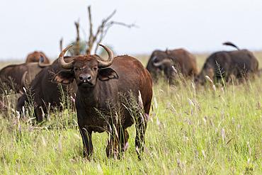 African buffalo (Syncerus caffer), Tsavo, Kenya.