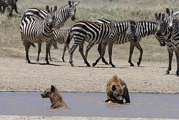 Spotted hyaena (Crocura crocuta), Ndutu, Ngorongoro Conservation Area, Serengeti, Tanzania.