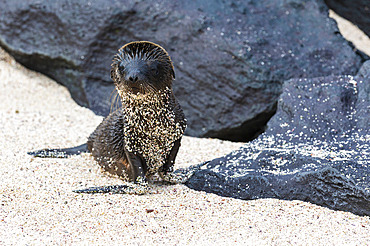 Galapagos Sea Lion (Zalophus californianus wollebaeki), Punta Suarez, Espanola Island, Galapagos islands, Ecuador.
