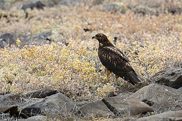 Galapagos hawk (Buteo galapagoensis), Punta Suarez, Espanola Island, Galapagos islands, Ecuador.