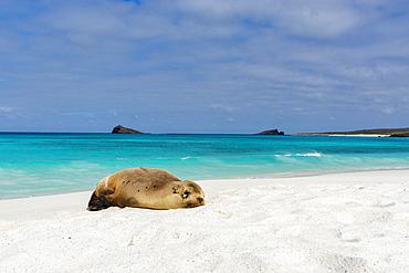 A juvenile Galapagos sea lion, Zalophus californianus wollebaeki, resting on a sandy beach, Espanola Island, Galapagos islands, Ecuador.