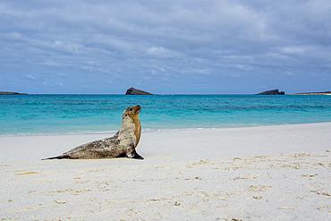 Galapagos Sea Lion (Zalophus californianus wollebaeki), Gardner Bay, Espanola Island, Galapagos islands, Ecuador.