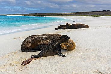 A Galapagos sea lion, Zalophus californianus wollebaeki, on a sandy beach, with its newborn, Espanola Island, Galapagos islands, Ecuador.
